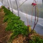 2013 1222 Vigne plantée sous la serre