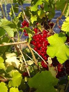 2014 0626 La diversification par les fruits rouges
