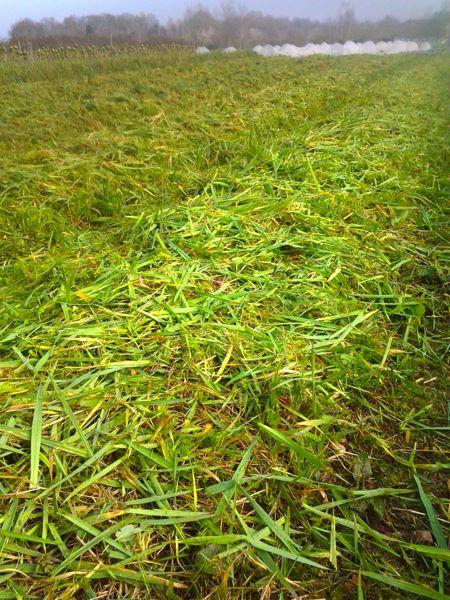 10 mars 2015 broyage d 39 un engrais vert d 39 hiver la ferme des petits pas - Engrais vert d automne ...