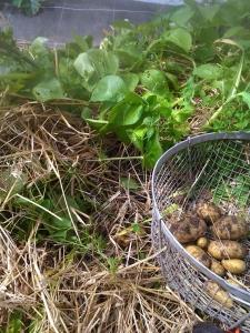 2015 0513 Pommes de terre nouvelles